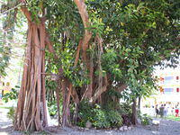 This banyan tree was found by my parents on the west coast of Mexico at the Royal DeCameron Resort in Nuevo, Vallarta, Mexico. J
