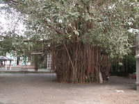 This is perhaps my favorite bayan tree, south of Arambol next to two Hindu temples. If ever one were to tunnel inside a great tr